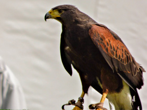 Susie the Harris Hawk